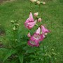 Penstemon_phoenix_rose