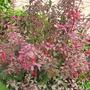 hardy purple leaved fuchsia