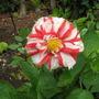 dahlia - one of T & M's raspberry ripple group