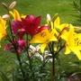 Lilies 02-08-11