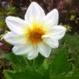 White Dahlia 10-08-11