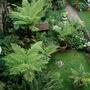 treeferns (Dicksonia antarctica (Soft tree fern))