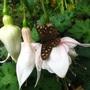 Fuchsias_028_butterfly_lp