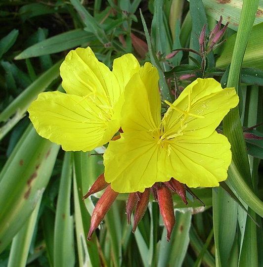Oenothera fruticosa 'Fyrverken' (Oenothera fruticosa)