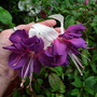 "Fuchsia ""Deep Purple"""