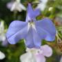 Blue Lobelia..