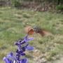 Humming bird Moth on blue sage