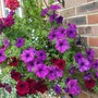 August Basket side view (Petunia single)
