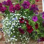 August Basket front view (Petunia double)