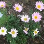 Rhodanthemum_agadir_atlas_daisy