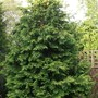 Thuja plicata 'Zebrina' I love this tree it never needs pruning and the foliage is just as thick at the base of the tree. (Thuja plicata zebrina)