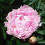 Paeonia officinalis 'Rosea Plena' (Paeonia officinalis)
