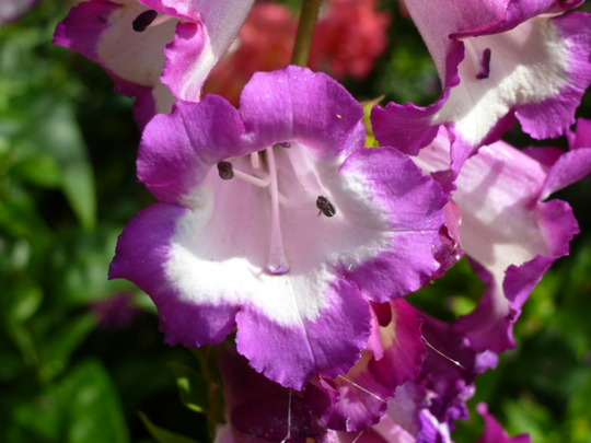 Penstemon     ' Czar '