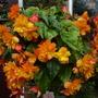 Begonia Illuminations