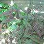 Persicaria 'Red Dragon' (Persicaria 'Red Dragon')