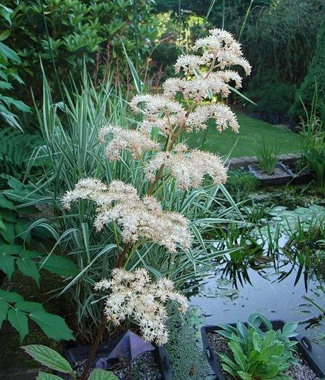 Rodgersia podophylla - 2009 (Rodgersia podophylla)