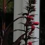 Lobelia cardinalis (Lobelia cardinalis)