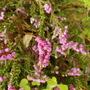 Erica carnea (Winter heath)