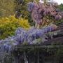 Wisteria at Sunrise (Wisteria floribunda (Japanese Wisteria))