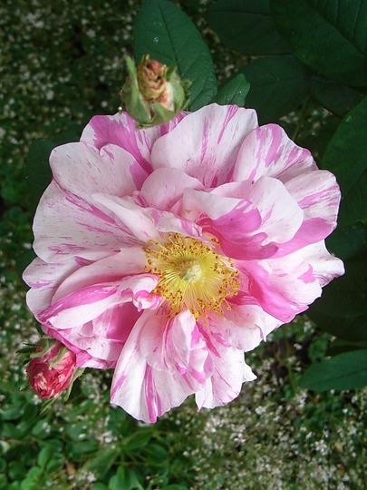 Rosa gallica 'Versicolor' (Rosa gallica 'Versicolor')