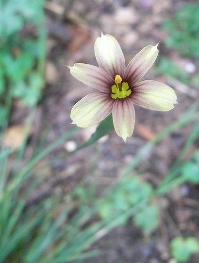 Sisyrinchium 'Biscuitella' (Sisyrinchium 'Biscuitella')