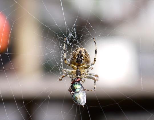 Arachnowrap
