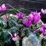 Cyclamen_purperescens_scented_002