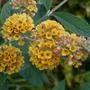 Buddleja 'Sun King' (Buddleja davidii (Butterfly bush))
