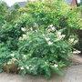 Sorbus reducta (Sorbus reducta)