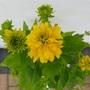 Rudbeckia laciniata 'Goldquelle' (Rudbeckia laciniata (Cutleaf Coneflower))