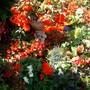 more summer colour (begonias)