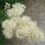 Sorbus reducta - close-up (Sorbus reducta)
