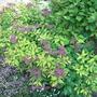 Spiraea japonica 'Goldflame' (Spiraea japonica)