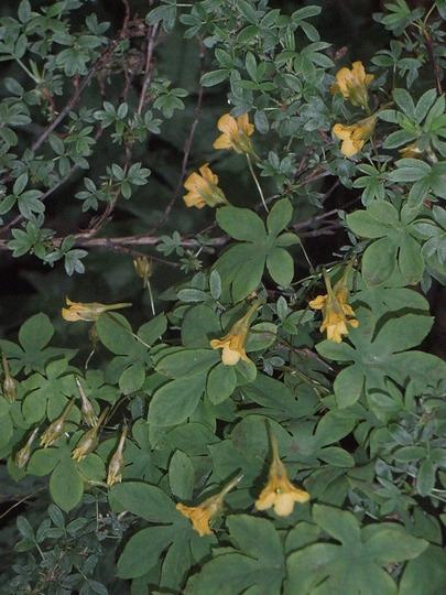 Tropaeolum ciliatum (Tropaeolum ciliatum)