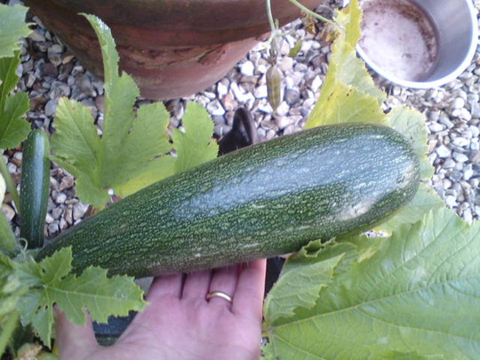 Another cor-courgette!