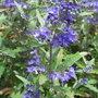 Caryopteris_x_clandonensis_heavenly_blue_2011
