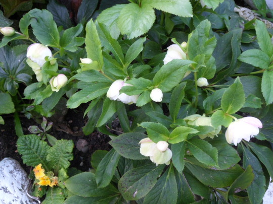 christmas rose, helibore, this is the second flush of blooms this year