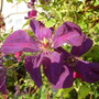 clemitis shares arch in front garden with two climbing roses