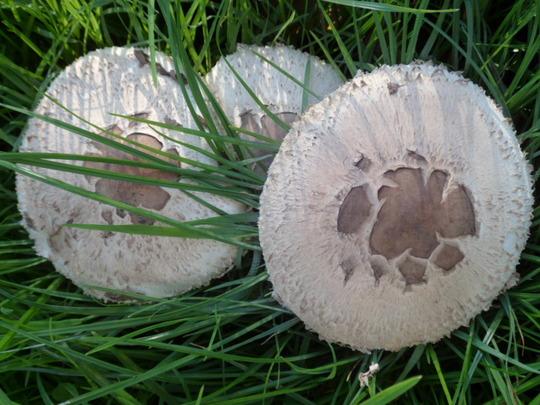 toadstools or mushrooms