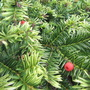 Juniper  (Juniperus horizontalis (Creeping Juniper))