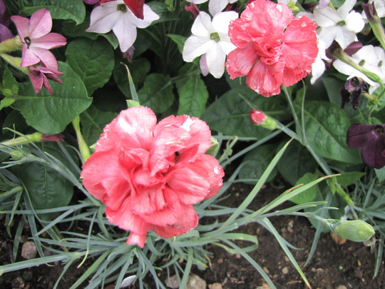 Dianthus 'Diana (Dianthus plumarius (Border Pink))