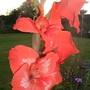Orange_gladiolus