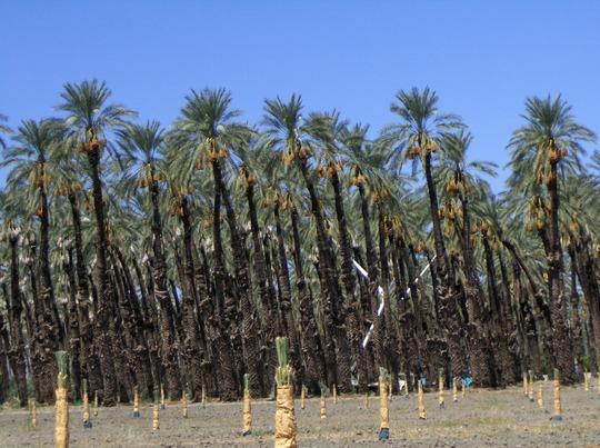 Phoenix dactylifera - Date Palm Grove (Phoenix dactylifera - Date Palm Grove)