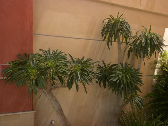 Pachypodium lamerei - Madagascar Palm (Pachypodium lamerei - Madagascar Palm)