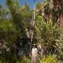 Pachypodium lamerei - Madagascar Palm At Morton's Desert Botanical Garden (Pachypodium lamerei - Madagascar Palm)