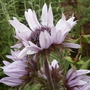 Zulu warrior (Berkheya purpurea)