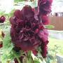 Garden_aug_11_009