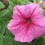 Garden_aug_11_017
