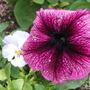 Garden_aug_11_036