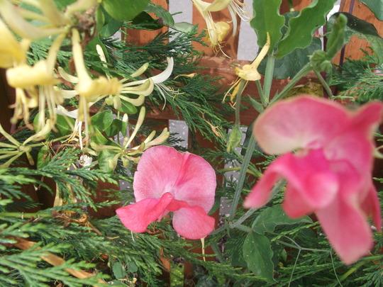 Garden Aug 11 024 (Lonicera)